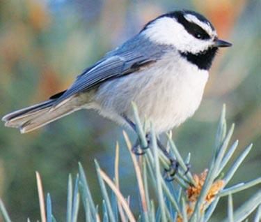 Mountain chickadee greeting spring in Frazier Park last week. [MaryAnn Ryan photo]