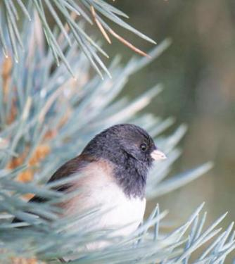 The dark-eyed junco has a sweet morning song heard around our neighborhoods recently. [MaryAnn Ryan photo]