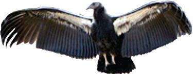 Fate of California Condor in The Balance