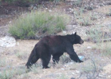 Bear Sightings Increase Dramatically
