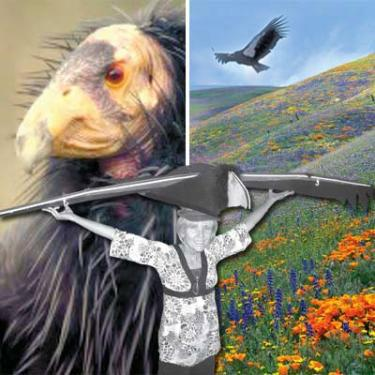 Left, Condor chick, shown on cover of the first draft of the American Ornithologists Union Audobon Society (AOU) condor program report. The draft reveals that seven condors were exposed to lead, likely on Tejon Ranch Company land, last spring. This was after the ban on lead ammunition in the state had gone into effect. One of the seven died, the others had to be taken for treatment. Inset, Ileene Anderson from the Center for Biological Diversity shows the soaring 9.5 foot wingspan of the California condor. Right, a composite of photos from Richard Dickey and Noel Snyder. Snyder is the scientist who was responsible for habitat studies of the California condor, prior to the entire remaining population of the endangered species were brought into zoos for a captive breeding program. Only 22 of the uniquely intelligent birds were left in the world in 1986. Thay began to be reintroduced to the wild in year 2000. They were found to be vulnerable to the effects of lead poisoning from ammunition fragments left by hunters in carcasses and