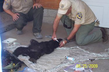 Orphaned Bear Cubs Captured, Relocated