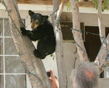Released Bear Cubs Head Back to Civilization