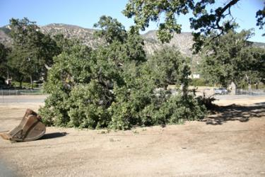 NEWS ALERT: Oak Tree Removal for Library Rattles Some Residents