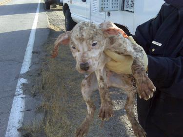 This is one of the approximately 12 puppies Mario Cedillo is alleged to have abandoned on icy mountain roads Monday, Nov. 30. Cedillo has pleaded 'not guilty' in Ventura County to a charge of felony animal cruelty.