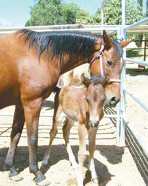 It took a year to nurse them back to health, but eight foals and 30 horses have all recovered and have been recently adopted by good homes from the Ventura County Humane Society in Ojai. Seven horses still remain.