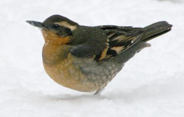 Varied Thrush [Penland photo] You will not necessarily see all the birds pictured during the winter, but they are likely to be here by the spring.