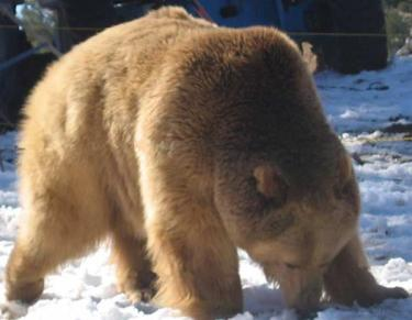 Kodiak Bear Spotted In Cuddy Valley