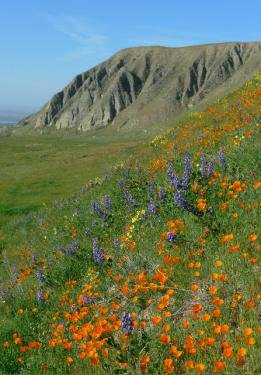 Lori Murphy's wildflower photo tours (last photo) are in high demand and (this photo) Wind Wolves Preserve ecologist Dave Clendenen reminds us not to miss visiting the mountains in bloom.