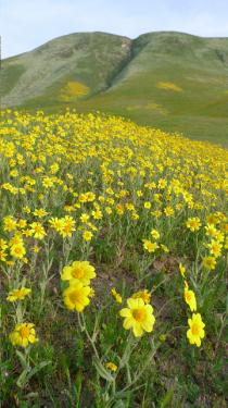 Lori Murphy's wildflower photo tours (first photo) are in high demand and (this photo) Wind Wolves Preserve ecologist Dave Clendenen reminds us not to miss visiting the mountains in bloom.