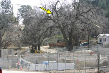 April 3, 2010, the heritage oak standing in the construction site.