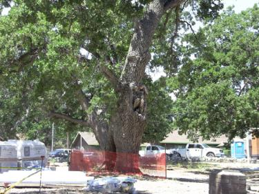 Across the street from the library building site, a construction staging area in Frazier Mountain Park has building materials stacked under the driplines of two oak trees. This photo was taken Tuesday, June 29, well after the harm coming from such practices has been demonstrated by loss of two heritage oaks June 12.
