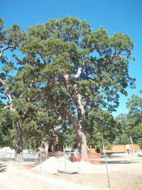 Token tree fences encircle the trunk rather than the dripline of the trees at the construction staging areas in Frazier Mountain Park on Tuesday, June 29.