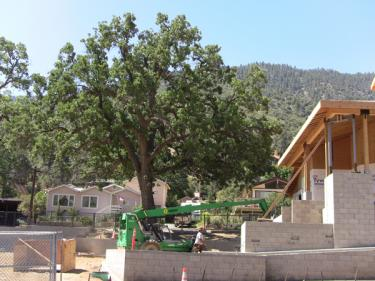 A construction lift operator drives his vehicle under the dripline of a large oak tree at the library site on June 29, thirty minutes after the subcommittee meeting. No dripline fence was in place.
