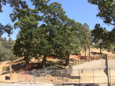 New orange fencing around oaks at the eastern edge of the library parking lot was installed Thursday and Friday, July 1 and 2. [photo by Gary Meyer of The Mountain Enterprise]