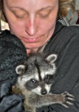 Who is she, and where did she come from? Kim Wickers of 'A Little Bit of Wildlife' holds the unnamed baby raccoon that was found wandering and starving across from the location of the downed old-growth Valley oaks at the Kern County Branch Library building site.