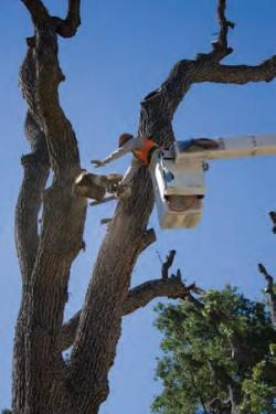The June 12 'Chainsaw Massacre' of Frazier Mountain Park's 400-year-old heritage oak.