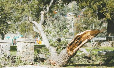 A massive limb (above) fell about sixty feet from the top of a heritage oak (next photo) across from the library building site.