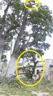 A massive limb (first photo) fell about sixty feet from the top of a heritage oak across from the library building site. The fracture point is circled at the top of this photo.