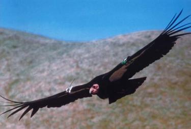 Endangered Condor Need Tejon Region, Study Shows