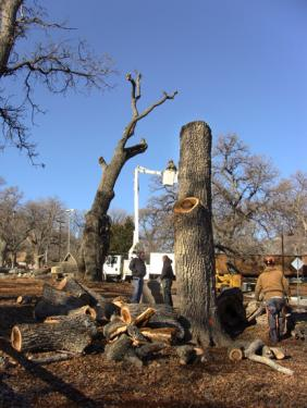 News Alert: Dangerous Trees Coming Down in Park, Rules Set for Firewood Harvest