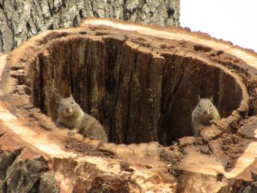 These squirrels looked a little confused as the top half of their oak home in Frazier Mountain Park was sawed off by county workers Tuesday, Feb. 22. Three trees deemed to be dangerous are being removed. Conflict over who gets the wood became a concern Tuesday.