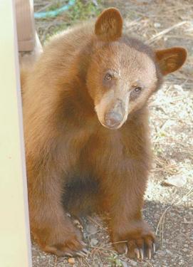 Bears Begin to Return