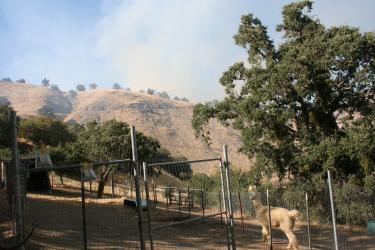 Rachelle Black lives on a Lebec alpaca farm in Digier Canyon. Above, one of the alpacas watches the smoke from the fire advancing on the opposite ridge. Evacuation was not necessary this time, but planning ahead is always needed to be prepared, she said. The fire was contained about 8:30 p.m.
