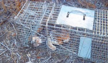 This image of the dead bobcat was posted around the Pine Mountain community by members of the Little Bit of Wildlife organization. The group offered a reward for information leading to the arrest and conviction of the person who set and baited the trap, then left the animal to starve to death in the cage.