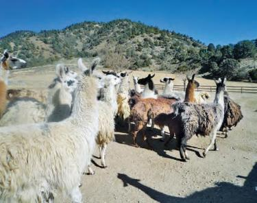 Four llamas have been killed in two years at the ranch of Sigmund Lichter in Frazier Park. The same two free-roaming pit bull dogs have been identified by by ranch hand Jose Meza. He saw the dogs on both occasions. One is white and the other is brown.