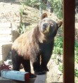 Habituated bears cause panic in PMC