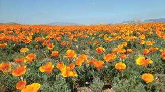 The Western Antelope Valley still offers an opportunity to discover beautiful wildflower displays. [photo by Lori Murphy]