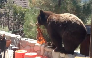 A black bear visits Jim Hackett's house in Pine Mountain, California on August 4, 2014. [video frame by Jim Hackett]