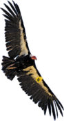 Protecting condors as wind power ascends — Part 2