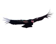 The endangered California condor's core habitat on Tejon Ranch will be changing, USFWS said. [Rick Throckmorton photo]