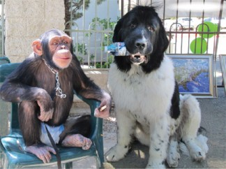 Customers come in all shapes and sizes. Eli the chimpanzee and Lance the Newfoundland (with his water bottle) were relaxed amidst excitement at the Mountain Aire Veterinary Hospital's 25th anniversary celebration. Around the mountain, many were celebrating their years in business this month. [photos by Gary Meyer]