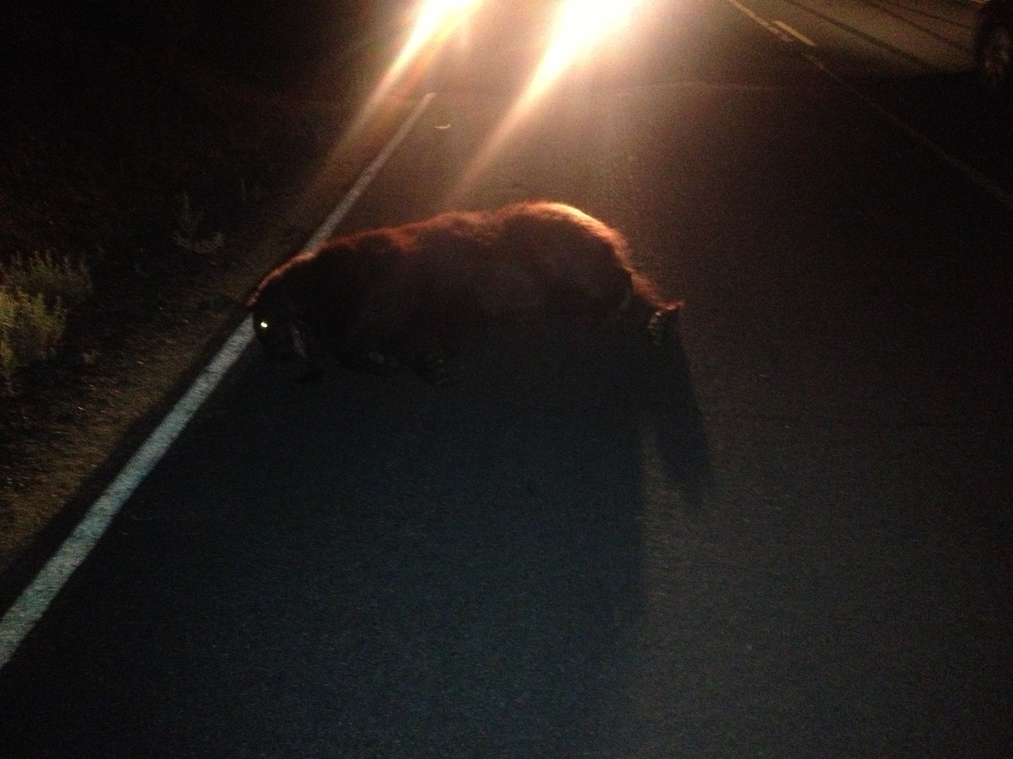 An eastbound Volvo hit a bear crossing Cuddy Valley Road on Friday, Aug. 9 about 9 p.m. The bear was killed, the car appeared to be wrecked. .[Finn Myggen photo]