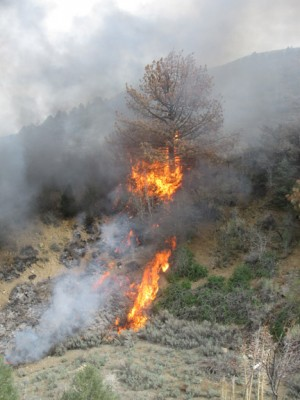 The fire climbs a dry pine tree just east of Texas Trail. [photo by Gary Meyer]