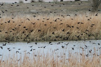 Birds flock at Holiday Lake in Neenach area. [photo by Jeff Zimmerman]