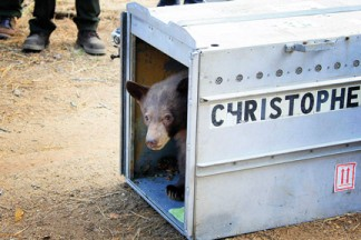 The 60-pound black bear cub peers out from a travel crate before bolting into the forest. See the video on this page. [photo by Jeff Zimmerman]