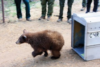 The black bear cub scoots out of his travel cage as people around him make loud noises so he will flee into the forest to live as a fully wild bear, with no human contact. He was released into the Mount Pinos district of the Los Padres National Forest. [photo by Jeff Zimmerman]