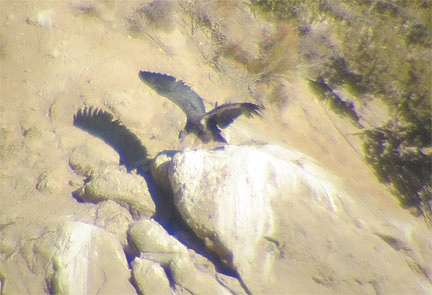 A six-month-old Bitter Creek condor trying its wings. [photo by USFWS]