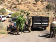 Pot farm raided on Frazier Mountain