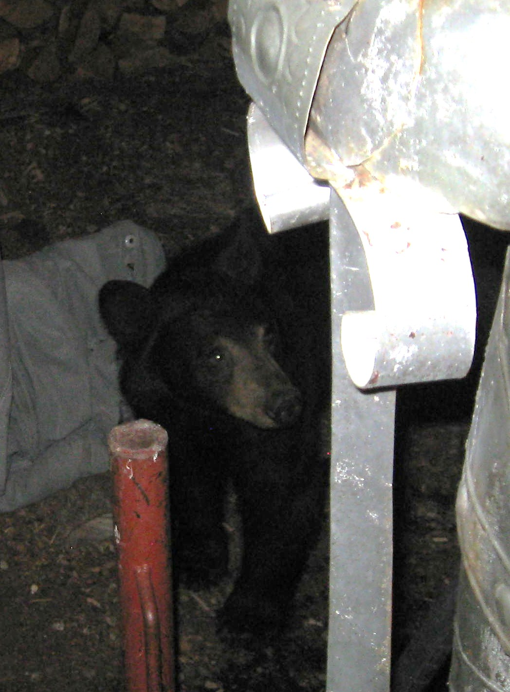 This fellow and a companion showed up at Garyson Sparkman's home on Pioneer Way Friday night, about 9 p.m. At about 10:30 Diane Duquette on Linden discovered two bears in a pine tree close to her house, she said. [Sparkman photo]