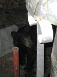 Bears Prowling Pine Mountain Neighborhoods Friday Night