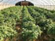 Kern cracks down on illegal pot grows... but not yet in Neenach area -