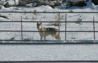 This wolf dog was spotted in a neighbor's corral, about a mile from the LARC facility. According to a letter to Ventura County authorities, LARC founders said it had escaped by scaling an 18 foot fence. The animal was not captured, according to the letter and was spotted at one time in the Pine Mountain community. Capture attempts were unsuccessful, according to comments of LARC founders, as quoted by Berger.